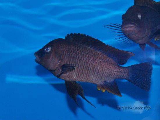 Petrochromis famula blue bemba